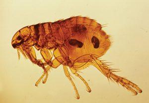 Las pulgas pueden afectar a nuestros animales durante todo el año