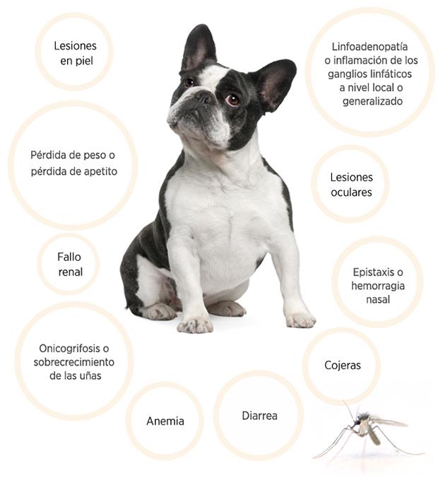 Signos clínicos de la Leishmaniosis canina